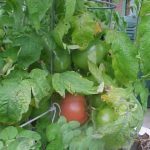 Picture: Tomato Yukon Quest (courtesy Heritage Tomato Seeds)