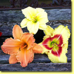 Picture: Daylilies: Fragrant Returns, Afternoon Tea Time & Monterrey Jack