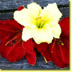 Picture: Daylilies: Fragrant Returns & Desert Flame