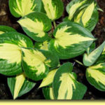 Picture: Hosta Pathfinder