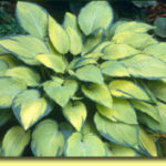 Picture: Hosta Paul's Glory