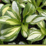 Picture: Hosta Peanut