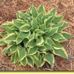 Picture: Hosta Pilgrim