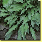 Picture: Hosta Pineapple Poll