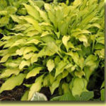 Picture: Hosta Pineapple Upside Down Cake