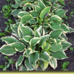 Picture: Hosta Pixie Vamp
