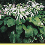 Picture: Hosta Plantaginea