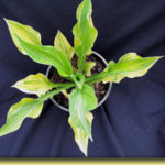Picture: Hosta Playmate