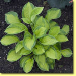 Picture: Hosta Pocketful of Sunshine