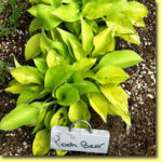Picture: Hosta Pooh Bear