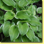 Picture: Hosta Poseidon