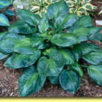 Picture: Hosta Potomac Glory