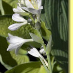Picture: Hosta Princess Anastasia
