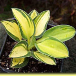 Picture: Hosta Pure Heart