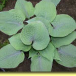 Picture: Hosta Purple Haze