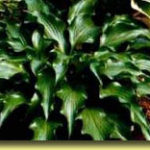 Picture: Hosta Rain Forest