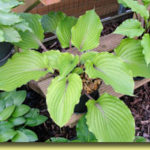 Picture: Hosta Red Bull