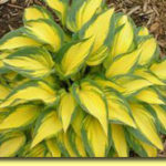 Picture: Hosta Remember Me