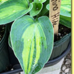 Picture: Hosta Rhino Hide