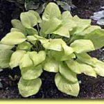 Picture: Hosta Rising Sun
