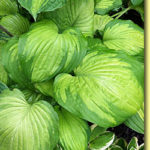Picture: Hosta Roy Kllehm
