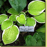 Picture: Hosta Saint Elmo's Fire
