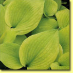 Picture: Hosta Sara's Gold