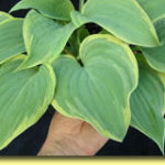 Picture: Hosta Secret Love