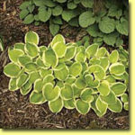 Picture: Hosta Shade Parade