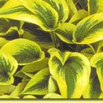 Picture: Hosta Shazaam