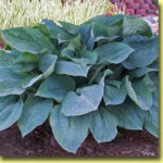 Picture: Hosta Silver Bay