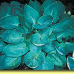 Picture: Hosta Silver Moon