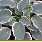 Picture: Hosta Sleeping Beauty