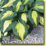 Picture: Hosta Smash Hit