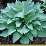 Picture: Hosta Smoke Signals