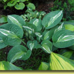 Picture: Hosta Snake Eyes