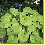 Picture: Hosta Solor Flare