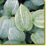 Picture: Hosta Split Milk