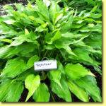 Picture: Hosta Spritzer