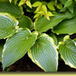 Picture: Hosta Stand Corrected