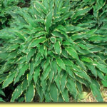 Picture: Hosta Stiletto