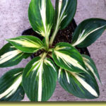 Picture: Hosta Sting