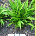 Picture: Hosta Stringbean