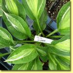Picture: Hosta Striptease