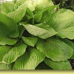 Picture: Hosta Sum and Substance
