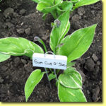 Picture: Hosta Sum Cup O'Joe