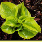 Picture: Hosta Summer Breeze