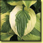 Picture: Hosta Summer Lovin'
