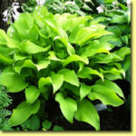 Picture: Hosta Sun Power