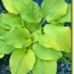 Picture: Hosta Sun Shower